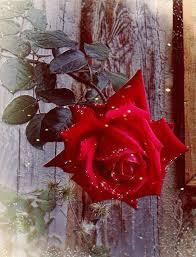 imagenes de amor con rosas animadas pin de margit blaskó en rózsák pinterest
