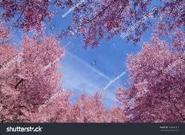 blossom trees cherry blossom trees flushing meadows corona stock photo 188449373