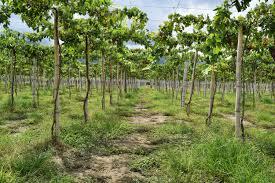 free images tree nature vine vineyard fruit food harvest
