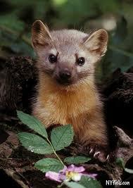 New York wildlife images Weasel like mammals of new york jpg