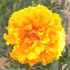 Flowers Information - horticulture flower crops marigold