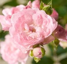 Komplett K Hen G Stig Kaufen Bodendeckerrose The Fairy Rosa The Fairy Günstig Online Kaufen