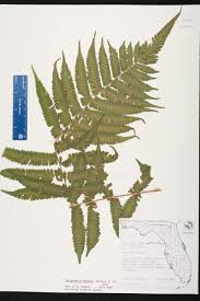 Canopy Synonyms by Thelypteris Dentata Species Page Isb Atlas Of Florida Plants