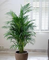 best 25 palm plants ideas on pinterest palm house plants plant