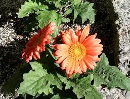 gerbera plant gerbera jamesonii1 jpg