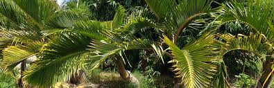 where to buy palm trees in new jersey palmco florida