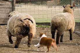 australian shepherd height tasaa about the breed