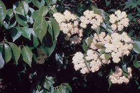 Plant Nanny Wiki Viburnum Lentago Wikipedia