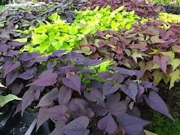 ipomoea sweet potato vine mix colors 20 plants starters ebay