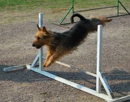 australian shepherd ugly stage july august 2011 issue u2013 sweden australian terrier international