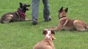 belgian sheepdog georgia protection dog training belgian malinois u0026 pitbull with attention