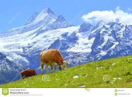 K Hen Schweiz Schweizer Kuh Auf Grünem Gras In Den Alpen Grindelwald Die