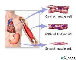 Human Body Muscles Images The Muscular System Human Anatomy