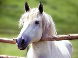 white mustang horse a dream of 3 white horse mare and horse mare