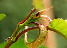 cherry tree diseases pests and problems solved