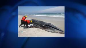 two humpback whales wash up on cape cod necn