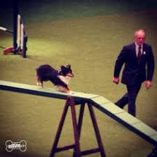 crufts australian shepherd 2014 flyball at crufts i guess the british teams start right at the