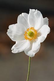 anemone flowers anemone hupehensis