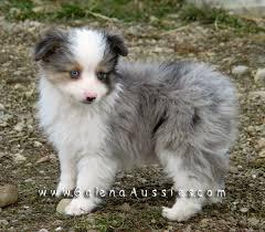 australian shepherd mini puppy best 20 toy aussie ideas on pinterest aussie puppies toy