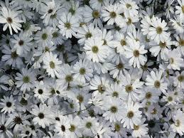 daisy flower types of daisies hgtv