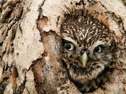 382 best owls images on nature animals owls and