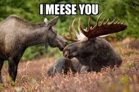 Moose Meme - the plural of moose should be meese memes