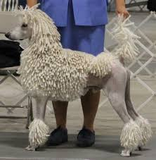 standard poodle hair styles may get a dag in the near future opinions on poodles ar15 com