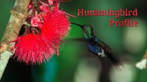 rainforest birds hummingbird profile a short video lesson