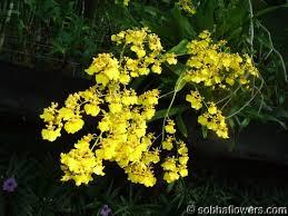 oncidium orchid oncidium orchid information buy oncidium in india indian
