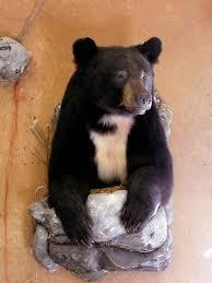 Taxidermy Bear Rug Bear Taxidermy Ideas Huntingnet Com Forums