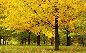 Yellow Flowering Trees - wallpaper yellow trees 1920 x 1200 nature flowers leaves falls