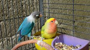 how to feed your lovebirds youtube