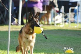 belgian shepherd victoria german shepherd dog council of australia