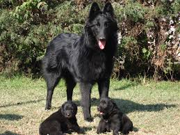 belgian shepherd health problems all breeds of dogs that begin with the letter p pets