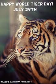 25 best tiger images on pinterest wild animals animals and