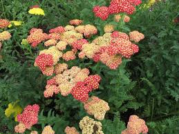 late summer color in your vermont landscape di stefano landscaping yarrow