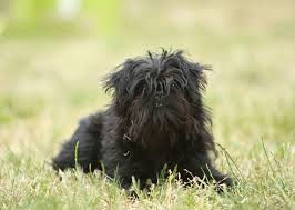 affenpinscher maltese mix meet the tiny and adorable breeds of the toy group u2014 photo gallery