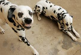 4 australian shepherd x dalmation why dalmatians are a train wreck