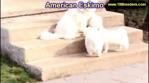 american eskimo dog edmonton american eskimo puppies dogs for sale in lexington county