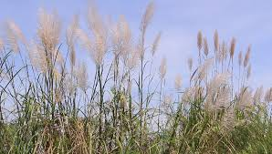 ornamental maiden grass with plume swaying against clear blue