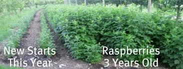Rasberry Trellis Growing Raspberries Successfully