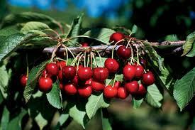 Cherry Tree Fruit - oregon u0027s fruitful trees farm flavor