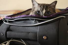 how to travel with a cat images How to travel with your cat adventure cats jpg