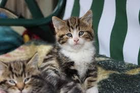 beautiful kittens most beautiful kittens in stratford london gumtree