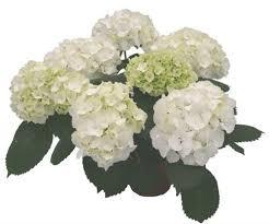 white hydrangea online wholesale bulk cut white hydrangea