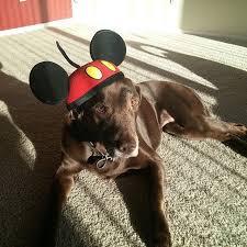 Disney Halloween Costumes Dogs 17 Dogs Wearing Mickey Ears Honor Walt Disney U0027s Birthday