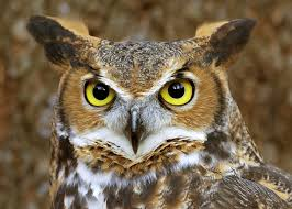 owl pictures owl horned owl and owl pictures