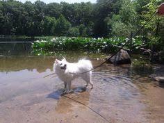 american eskimo dog dallas adopt male u0026 female eskies on american eskimo dog adoption and dog