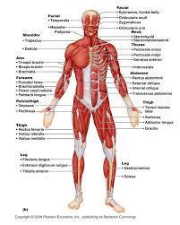 Google Body Anatomy Best 20 Human Muscle Anatomy Ideas On Pinterest Leg Anatomy