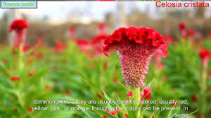 celosia cristata the most beautiful flowers youtube